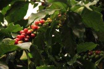 green coffee rostlina