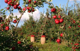 Jak uskladnit jablka